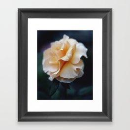 Apricot Rose Framed Art Print
