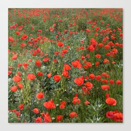A stroll of poppies Canvas Print
