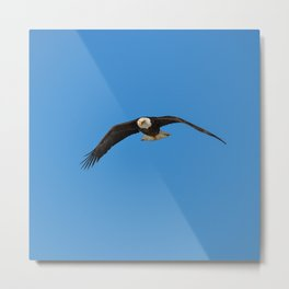 Eagle In Flight - Alaska Metal Print