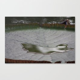 Water upon a Giant Lily Pad Canvas Print