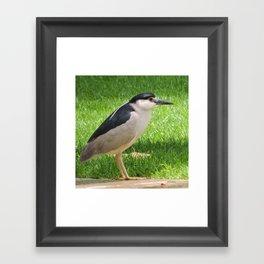 Black Crowned Night Heron in the Park Framed Art Print