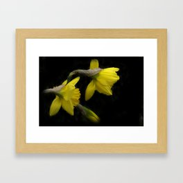 daffodils on black -100- Framed Art Print
