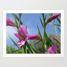 Pink Flowers - Field Gladiolus Art Print