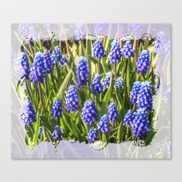 Grape hyacinths muscari Canvas Print