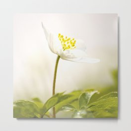 Wood Anemone Blooming in Forest Metal Print