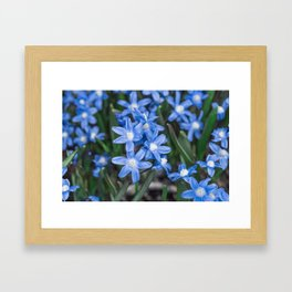 Easter Snow Glories Framed Art Print