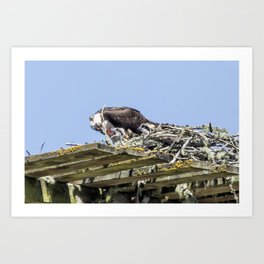 Feeding Time for Baby Ospreys Art Print