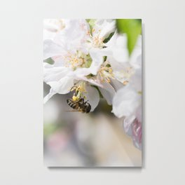 Bee collects pollen sitting on the apple tree flower Metal Print