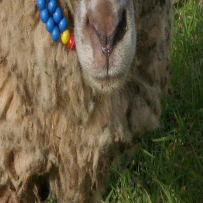 Ewe and Three Lambs Making Eye Contact Leggings