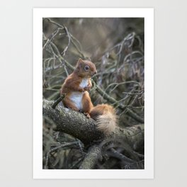 Cute little wild woodland red squirrel in the branches Art Print