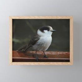 Gray Jay Framed Mini Art Print