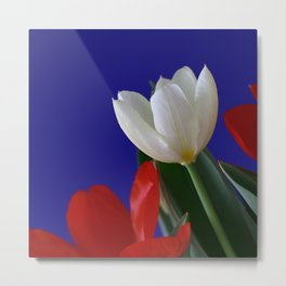 Red and White Tulip Flowers on Blue Background square Metal Print