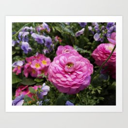 Spring Rosy Ranunculus And Primrose With Violet Violas Art Print