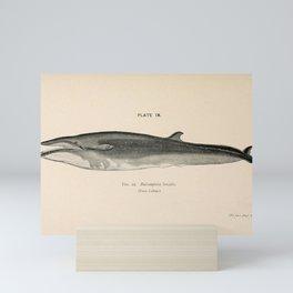 W Sidney Berridge - A Book of Whales (1900) - Figure 22: The Sei Whale Mini Art Print