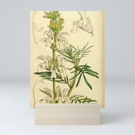 Flower 5209 salvia scabiosaefolia Scabious leaved Sage1 Mini Art Print