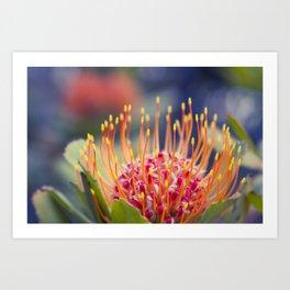 Tropical Sunburst - Leucospermum Pincushion Protea Flower Art Print