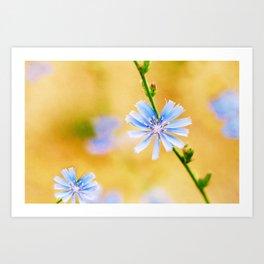 Wild Chicory Art Print