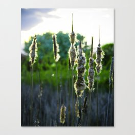 Scraggly Cat-Tails at Sunset Canvas Print