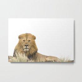 Male lion photo 3 Metal Print
