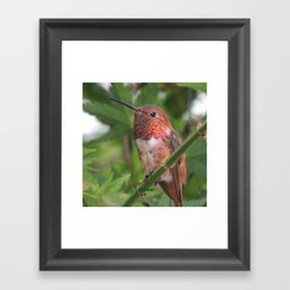 Hummingbird in the Japanese Maple Framed Art Print