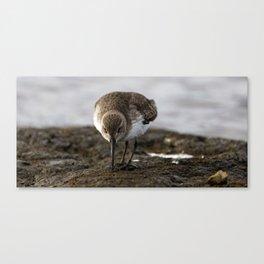 Dunlin Sandpiper   Wildlife Photography   Birds Canvas Print