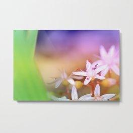 Sedum Album flower with copy space Metal Print