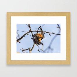 Grey-headed flying fox - Pteropus poliocephalus Framed Art Print