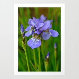 Siberian Iris by Teresa Thompson Art Print
