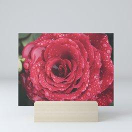 Macro of beautiful red rose in full bloom covered in morning dew. Mini Art Print