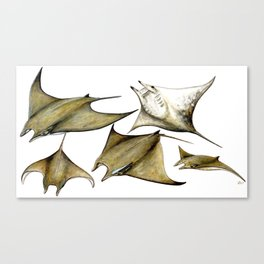 Chilean devil manta ray (Mobula tarapacana) Canvas Print