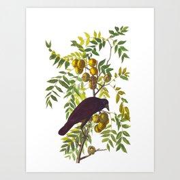 American Crow Vintage Bird Illustration Art Print