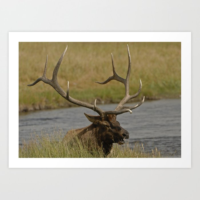 Bull elk with very large antlers Art Print