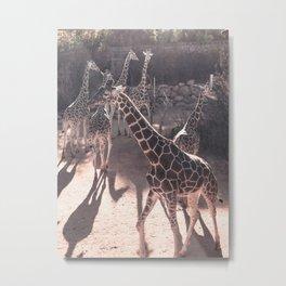 Giraffe Strut // Spotted Long Neck Graceful Creatures in Wildlife Preserve Metal Print