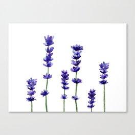 Lavender plant Canvas Print