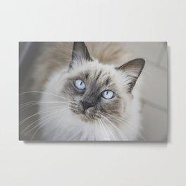 Blue eye cat Metal Print