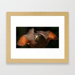 Harris Hawk | Hawks | Bird | Wildlife Photography | Raptor Framed Art Print
