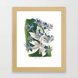 Cochliostema Jacobianum Spiderwort Blue Flower color lithograph Framed Art Print