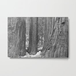 Giant Sequoia Trees in Black & White Metal Print