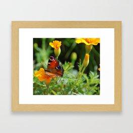 Peacock Butterfly on Marigolds Framed Art Print