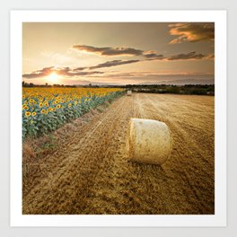 Sunset over the sunflowers field Art Print