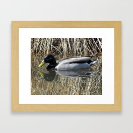 Mallard Reflecting Framed Art Print