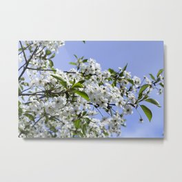 white cherry Metal Print