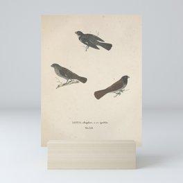 White throated Seedeater loxia albogularis loxia ignobilis Mini Art Print