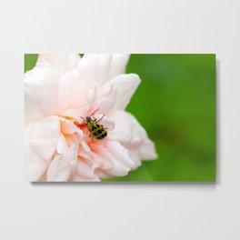 Cucumber Beetle & Winter Rose Metal Print