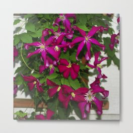 Clematis viticella Mme Julia Correvon Metal Print