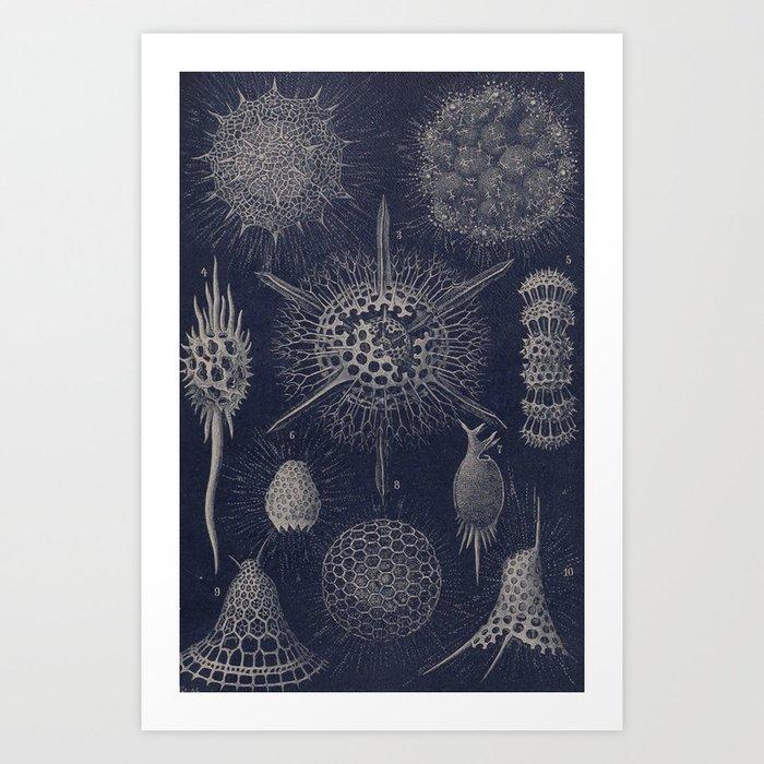 Vintage Radiolaria Diagram Art Print By Bluespecsstudio