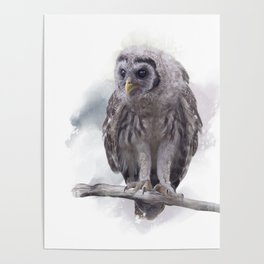 Young Barred Owl Perches on a Branch,Watercolor painting Poster