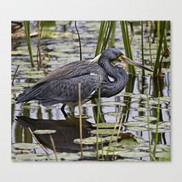 Tri-colored heron hunting for breakfast Canvas Print