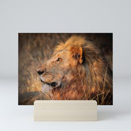 Lion in the evening light, South Africa Mini Art Print