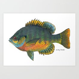 Blue Gill (in-color) Art Print
